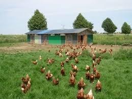 poulailler 5000 poules